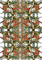 Haeckel Trochilidae - Standard