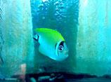 Genicanthus semifasciatus, Japanischer Lyrakaiserfisch