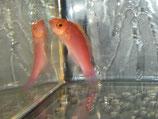Cirrhilabrus roseafascia, Rosaband-Zwerglippfisch