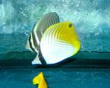 Chaetodon auriga, Fähnchen-Falterfisch