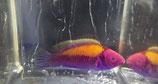 Cirrhilabrus aurantiodorsalis, Goldrücken-Zwerglippfisch
