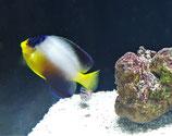 Centropyge multicolor, Vielfarben-Zwergkaiser