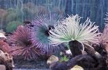 Sabellastarte indica/magnifica,  Röhrenwurm