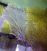 Gorgonia ventalina, Fächergorgonie