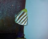 Parachaetodon ocellatus, Fünfbinden-Segel-Falterfisch