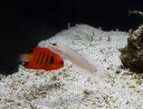 Amblygobius decussatus, Orangestreifen-Grundel