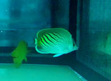 Chaetodon pelewensis, Diagonalstreifen-Falterfisch