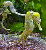 Hippocampus reidi, Seepferdchen