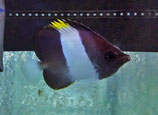 Hemitaurichthys zoster, schwarzer Pyramidenfalterfisch
