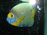 Pomacanthus xanthometopon, Blaukopf-Kaiserfisch