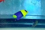 Centropyge bicolor, blaugelber Zwergkaiser