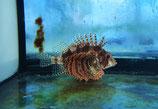 Dendrochirus brachypterus, Zwergfeuerfisch