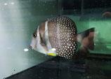 Acanthurus guttatus, Weißflecken-Doktorfisch