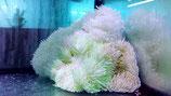 Heteractis crispa, Lederanemone