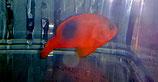 Amphiprion ephippium,  Glühkohlen-Anemonenfisch