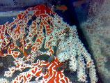 Trikentrion flabelliforme, rotweißer Schwamm, Australien!
