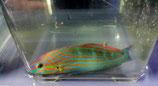 Halichoeres melanurus, Grünblauer-Junkerfisch