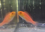 Cirrhilabrus isosceles, Langschwanz-Zwerglippfisch