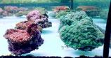 Echinopora lamellosa, Echinopora spec