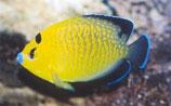 Apolemichthys xanthopunctatus, Goldtupfen-Kaiserfisch