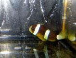 Amphiprion sebae, Indischer Anemonenfisch