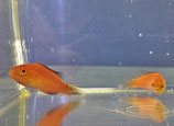 Cirrhilabrus lunatus, Sichelschwanz-Zwerglippfisch
