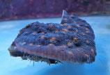 Mycedium sp, Chalice / Elefantenhaut-Koralle