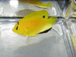 Apolemichthys trimaculatus, Dreifleck-Kaiserfisch