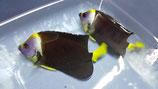 Chaetodontoplus meredithi, Masken-Samtkaiserfisch
