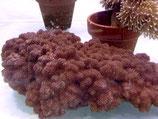 Cladiella sp, Brokkoli-Weichkoralle