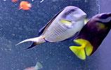 Acanthurus sohal, Arabischer Doktorfisch