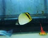 Chaetodon vagabundus - Vagabund-Falterfisch