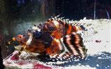 Dendrochirus biocellatus, Pfauenaugen-Zwergfeuerfisch