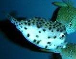 Rhynchostracion nasus, kleiner Nasen-Kofferfisch