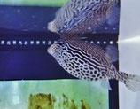 Ostracion solorensis, gestreifter Kofferfisch