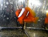 Amphiprion frenatus, Weißbinden-Anemonenfisch