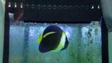 Chaetodontoplus duboulayi, australischer Kaiserfisch