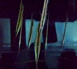 Aeoliscus strigatus, Schnepfen-Messerfisch