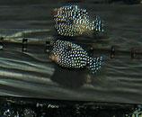 Ostracion meleagris, gepunkteter Kofferfisch