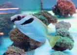 Siganus doliatus, Blaustreifen-Kaninchenfisch