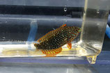 Macropharyngodon ornatus, Ornament-Lippfisch