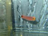 Pseudochromis elongatus, Schwanzfleck Zwergbarsch