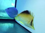 Prognathodes aculeatus, Karibischer Pinzettfisch