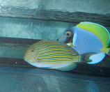 Acanthurus lineatus, Blaustreifen-Doktorfisch