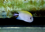 Genicanthus melanospilos, Zebra-Lyrakaiserfisch
