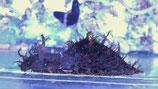 Stylocheilus sp, Blaupunkt- Seehase