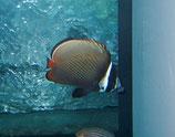 Chaetodon collare, Halsbandfalterfisch