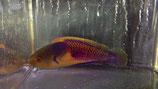 Cirrhilabrus lyukyuensis, Gelbfleck-Zwerglippfisch