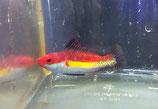 Cirrhilabrus naokoae, Naoko-Zwerglippfisch