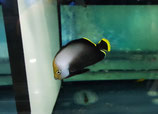 Chaetodontoplus melanosoma, Phantom-Kaiserfisch